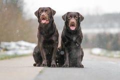 Retriever 2 милый молодой коричневый labrador выслеживает щенят сидя совместно на конкретный усмехаться улицы Стоковые Фотографии RF