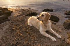 Retriever на пляже Стоковые Фотографии RF
