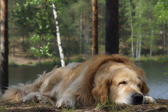 Retriever породы собаки золотой лежа и спать на холме на предпосылке озера и стволов дерева леса Стоковое Изображение
