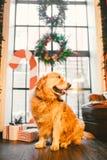Retriever родословной взрослый золотой, labrador сидит полностью рост на предпосылке окна украшенного с ` s Нового Года Стоковое фото RF