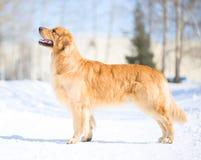 retriever собаки золотистый Стоковые Фотографии RF