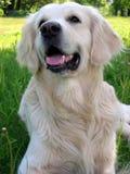 retriever собаки золотистый Стоковое фото RF