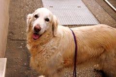 Retriever собаки золотой на улице Стоковые Изображения RF