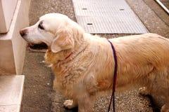 Retriever собаки золотой на улице Стоковые Изображения