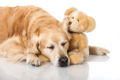 retriever собаки золотистый Стоковое Изображение RF