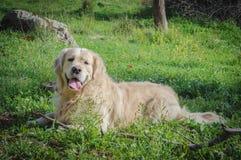 retriever собаки золотистый Стоковые Изображения RF