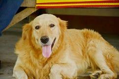 retriever собаки золотистый стоковая фотография