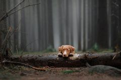 Retriever утки Новой Шотландии звоня в лесе стоковая фотография