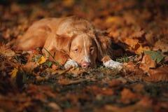 Retriever утки Новой Шотландии породы собаки звоня Стоковое Фото