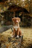 Retriever утки Новой Шотландии породы собаки звоня Стоковое Изображение RF