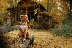 Retriever утки Новой Шотландии породы собаки звоня Стоковые Фотографии RF