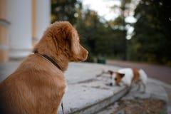 Retriever утки Новой Шотландии породы собаки звоня Стоковое фото RF