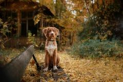Retriever утки Новой Шотландии породы собаки звоня Стоковые Фото