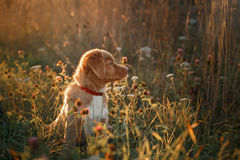 Retriever утки Новой Шотландии породы собаки звоня Стоковые Изображения RF