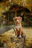 Retriever утки Новой Шотландии породы собаки звоня Стоковое Изображение