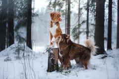 Retriever утки Новой Шотландии собак звоня и финская порода Lapphund Стоковая Фотография RF
