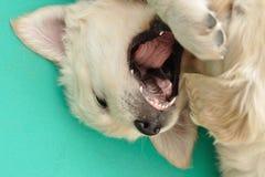 retriever щенка золотистого рта открытый Стоковые Изображения
