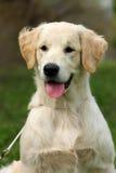 Retriever щенка золотой Стоковое Изображение RF
