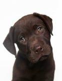 retriever щенка labrador шоколада Стоковое Фото