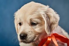 retriever щенка labrador стоковое фото rf