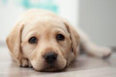 retriever щенка labrador Стоковое Изображение