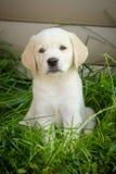 retriever щенка labrador Стоковая Фотография