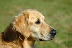Retriever Royalty Free Stock Photos