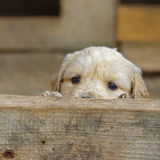 Сладостный скрываться щенка золотого Retriever Стоковое Изображение RF