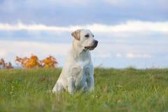 retriever του Λαμπραντόρ σκυλιών Στοκ φωτογραφία με δικαίωμα ελεύθερης χρήσης