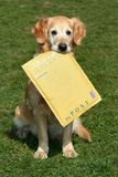 Retriever assistant of mailman Royalty Free Stock Photography