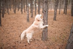 Retriever in the autumn forest rested his paws on a tree. Against the background of dry grass with cones on the ground Royalty Free Stock Photo