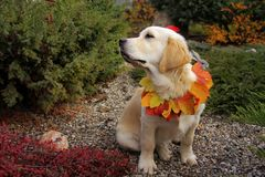 Retriever Beautiful  in park Royalty Free Stock Images