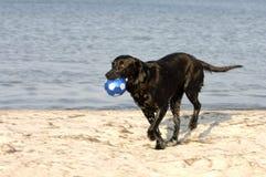 Retriever brincalhão na praia Fotografia de Stock