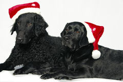 Retriever with cap of Santa Claus Stock Photo
