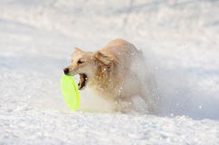 Retriever catching disk Stock Image