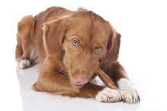 Retriever is chewing a chew toy Stock Photos