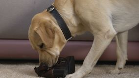 Retriever chewing up boot at home damaging shoes, active disobedient pet