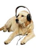 Retriever com fones de ouvido. Imagens de Stock
