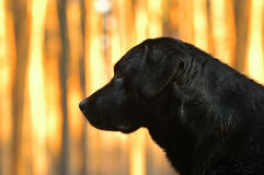 Retriever de Labrador Imagem de Stock Royalty Free