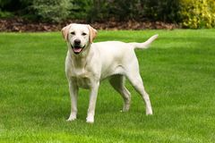 Retriever de Labrador Imagem de Stock Royalty Free