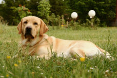 Retriever de Labrador Foto de Stock