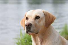 Retriever de Labrador fotos de stock royalty free