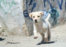 Retriever de Labrador Imagens de Stock