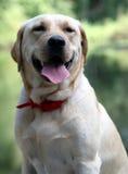 Retriever de Labrador amarelo Imagem de Stock Royalty Free