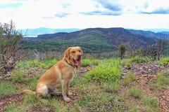 Retriever de Labrador amarelo Fotografia de Stock