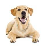 Retriever de Labrador assentado do filhote de cachorro imagem de stock