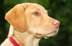 Retriever de Labrador bonito Fotografia de Stock