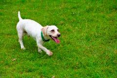 Retriever de Labrador bonito Fotos de Stock Royalty Free