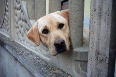 Retriever de Labrador bonito Imagens de Stock Royalty Free