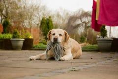 Retriever de Labrador bonito fotografia de stock royalty free